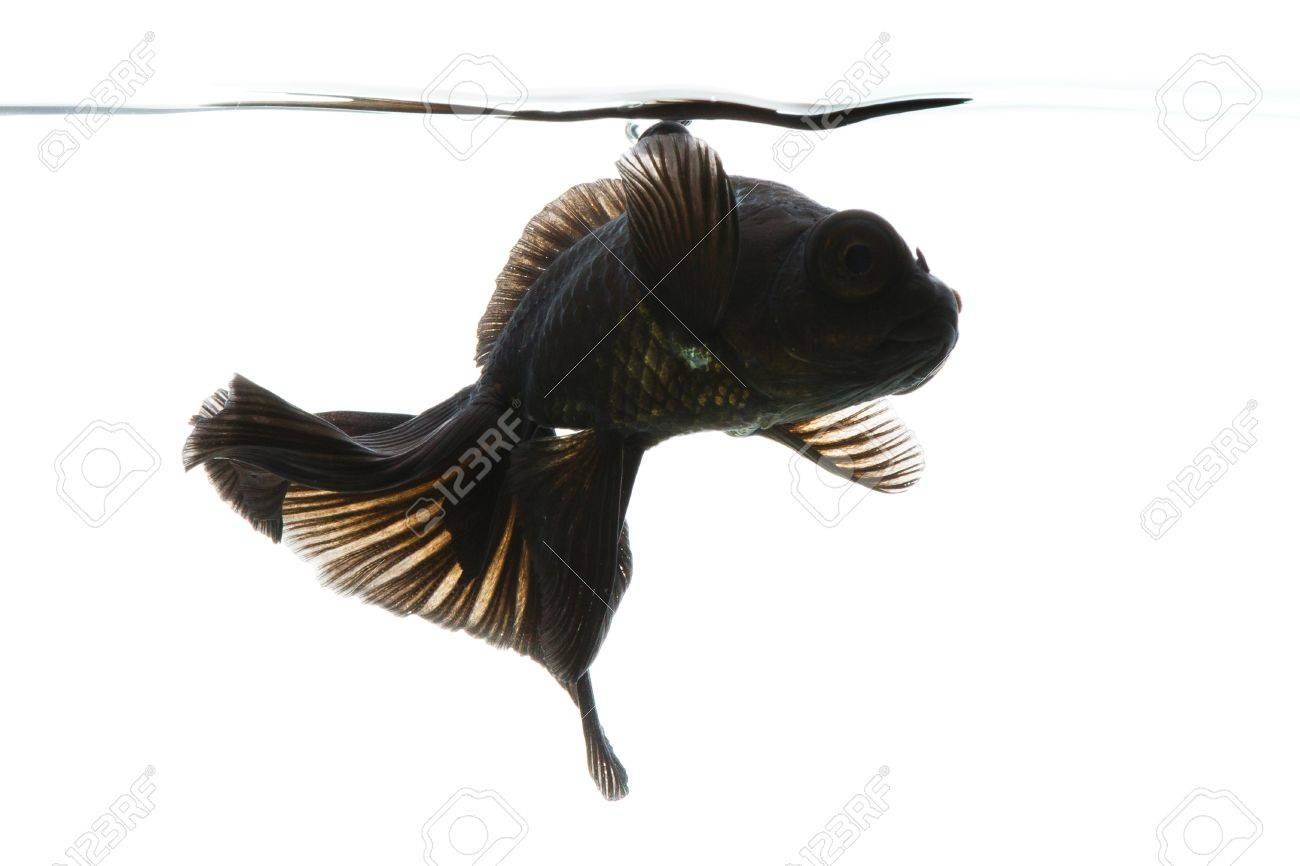 Schwarzer goldfisch