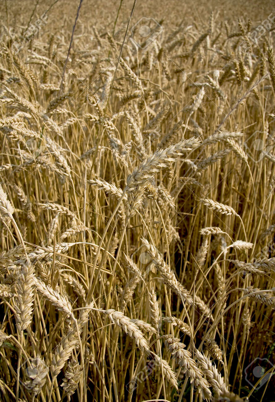 Golden field of wheat in the middle of summer ready for harvest. Stock Photo - 3234063