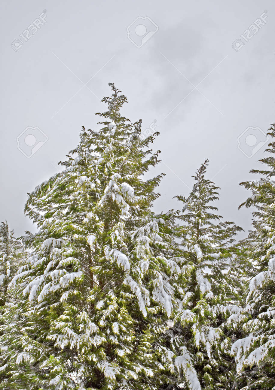 Evergreen trees covered with snow after a winter storm. Stock Photo - 4634079