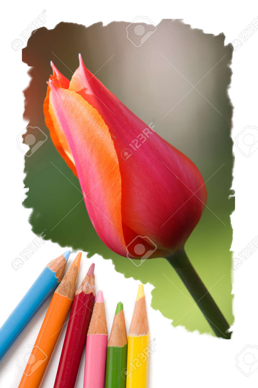 Color Pencil Drawing Or Sketch Of Colorful Blooming Tulip Flowers ...