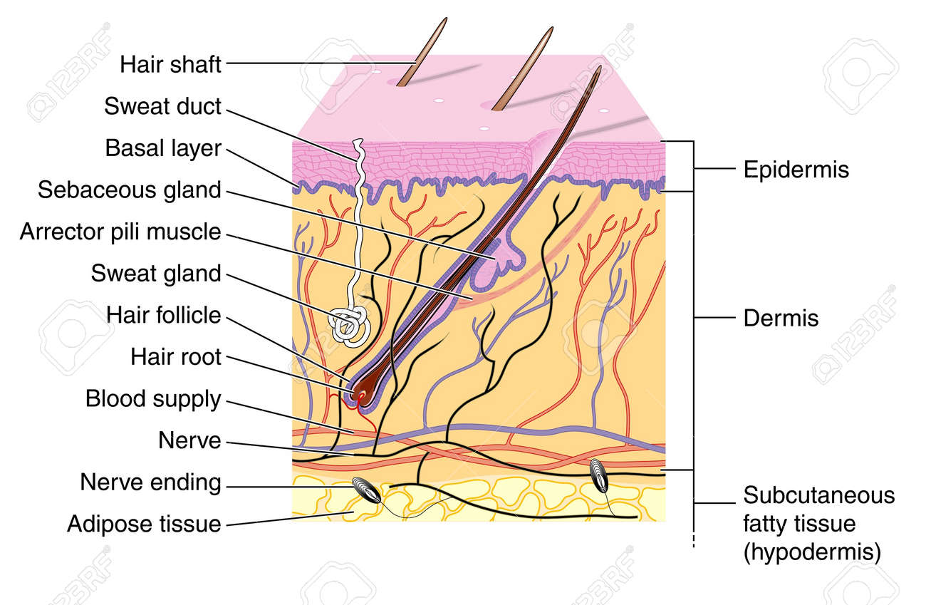 Skin Diagram Hair Root - Search For Wiring Diagrams •