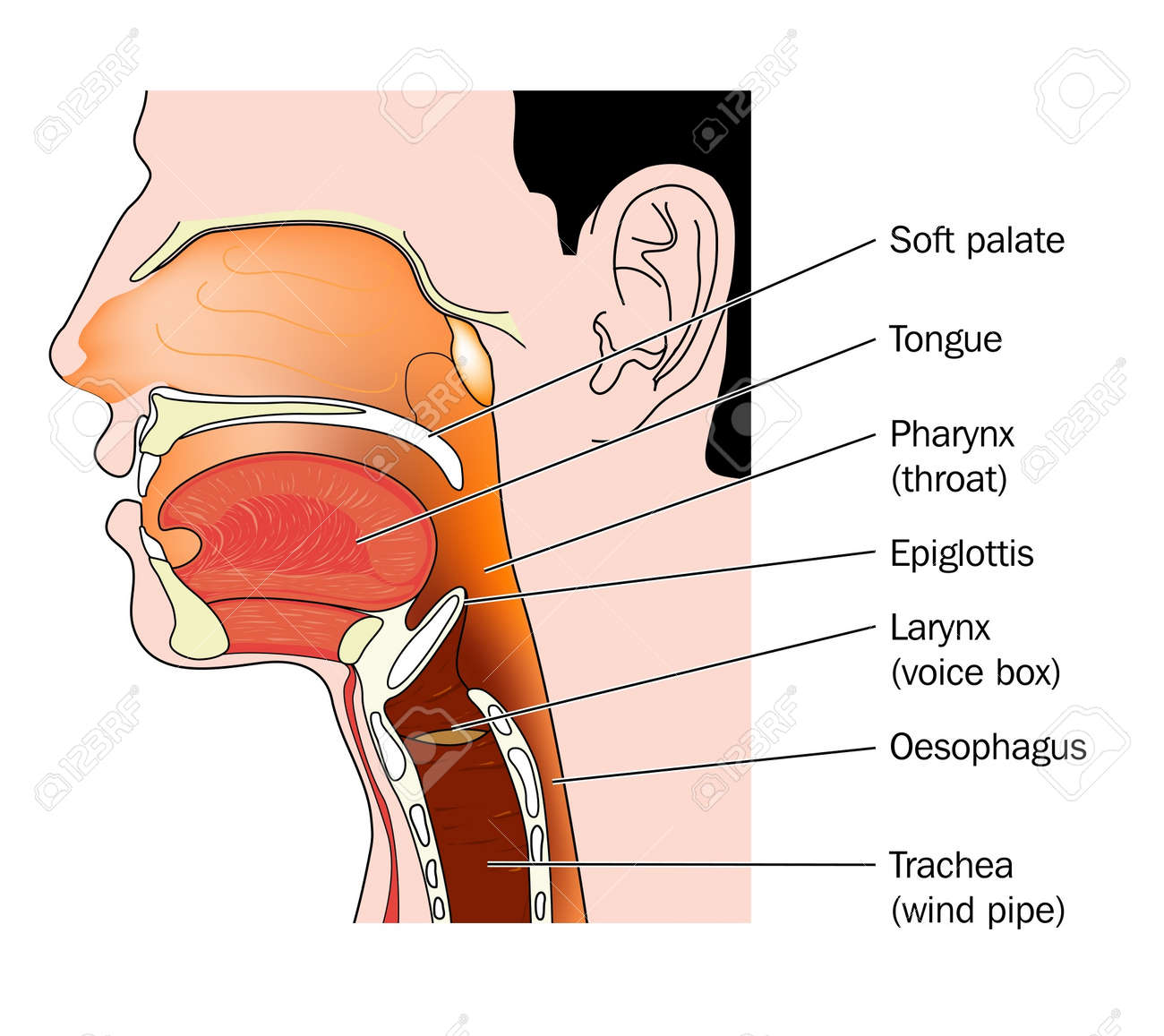Cross section of the nose and throat Stock Vector - 9933708