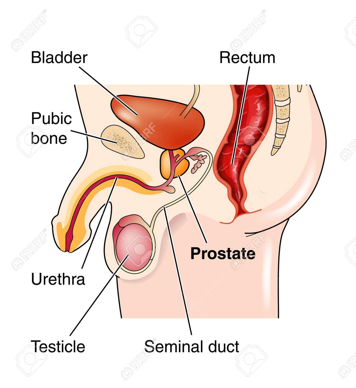 Männliche Genitalien Zeigt Lage Der Prostata Lizenzfrei Nutzbare ...