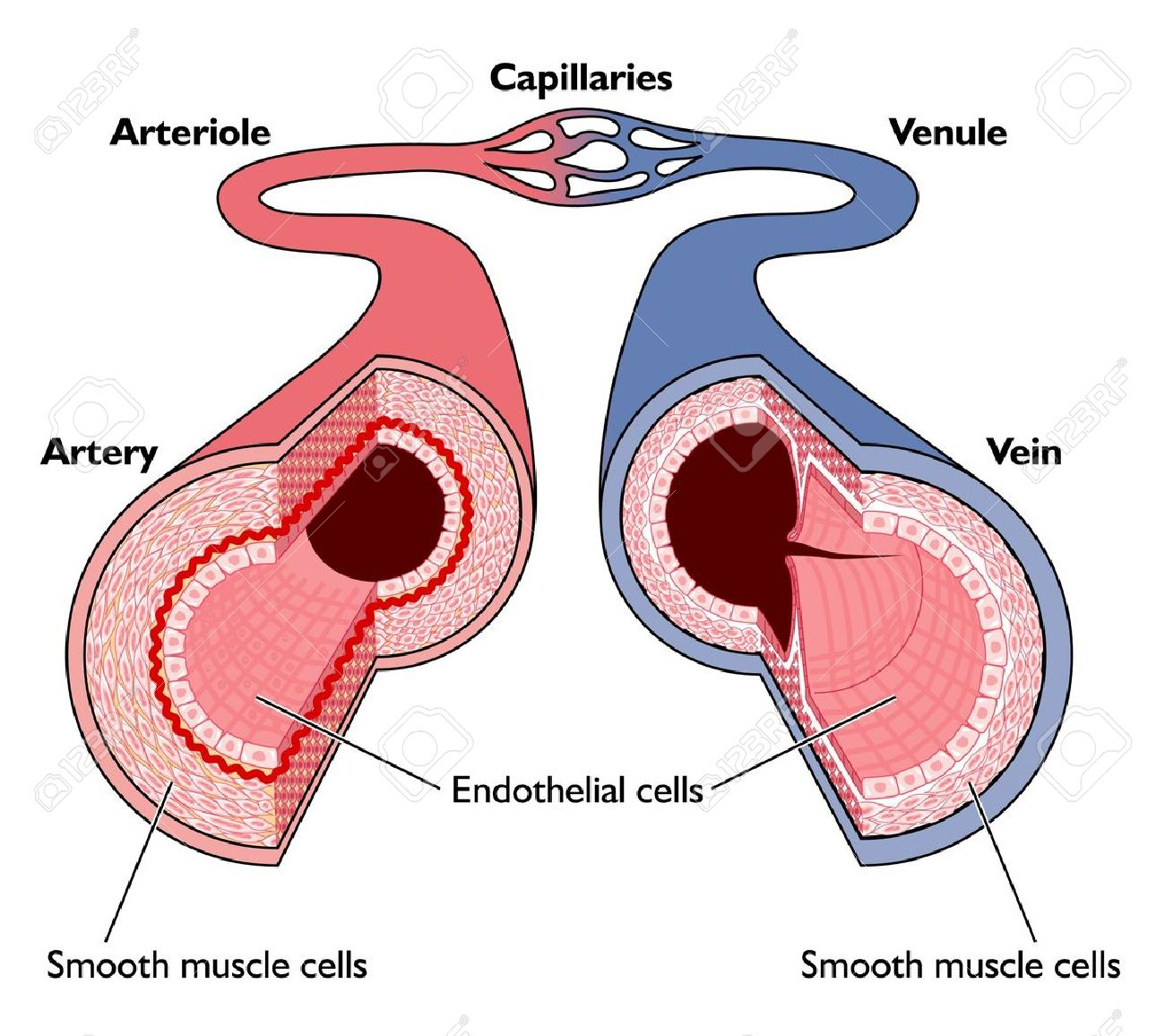 Cross Section of Veins Arteries And Capillaries Capillaries Cross Section of