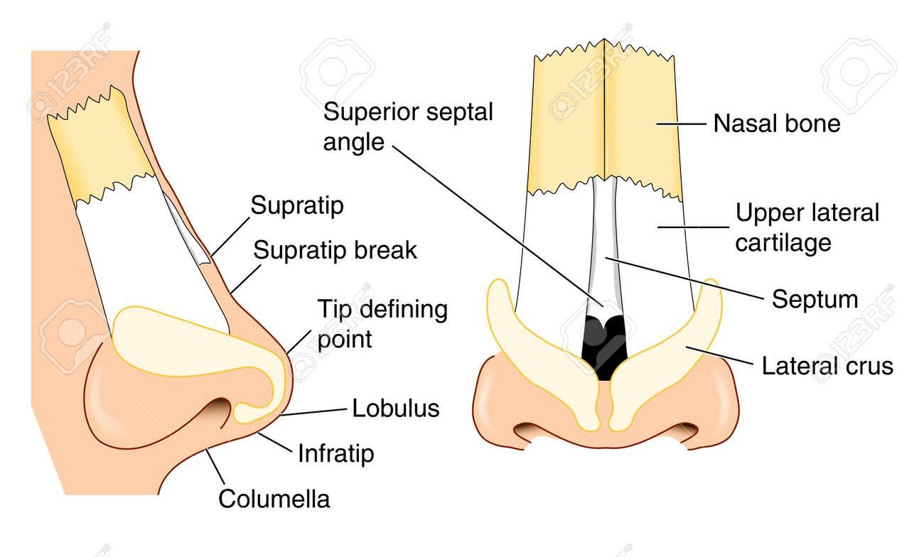 Anatomía De La Nariz Ilustraciones Vectoriales, Clip Art Vectorizado ...