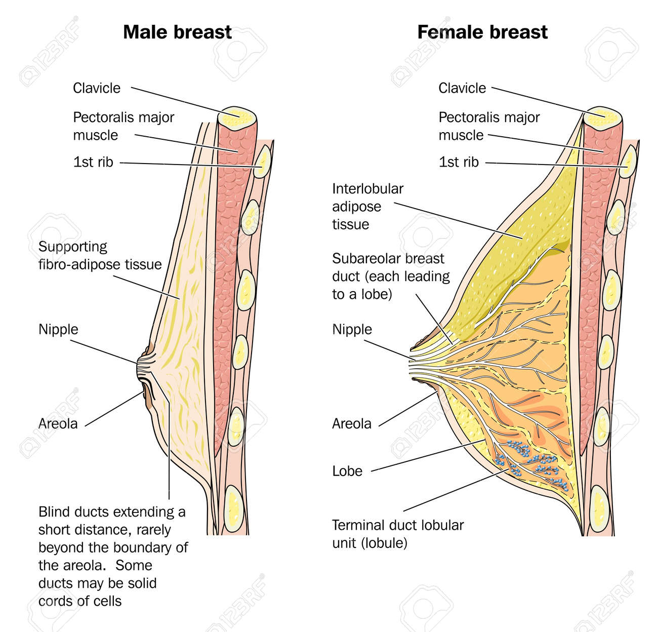 Cross Section Of Male And Female Breast Tissue Royalty Free Cliparts ...