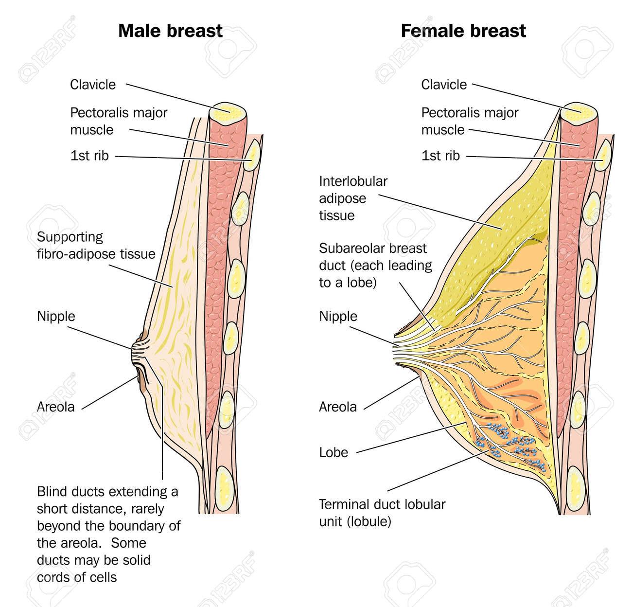 Famoso Diagrama De La Anatomía Del Pecho Embellecimiento - Anatomía ...