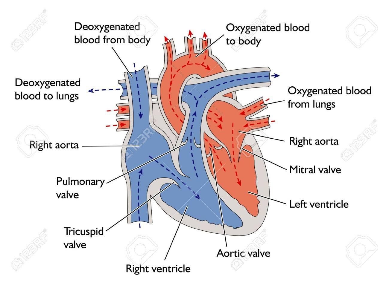 Progress of blood through heart Stock Vector - 12001074