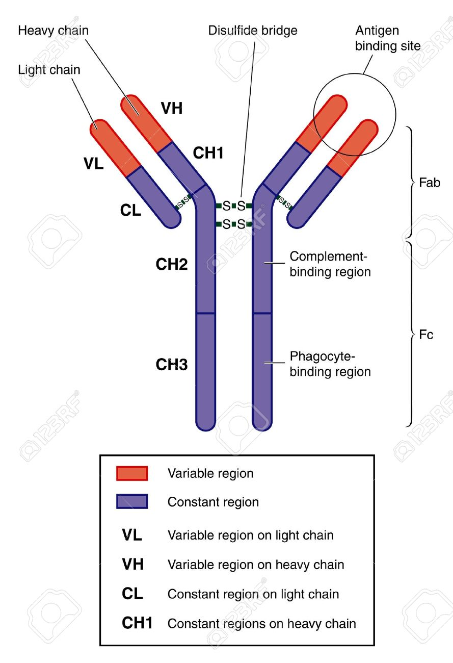 Structure of a typical antibody Stock Vector - 12092754