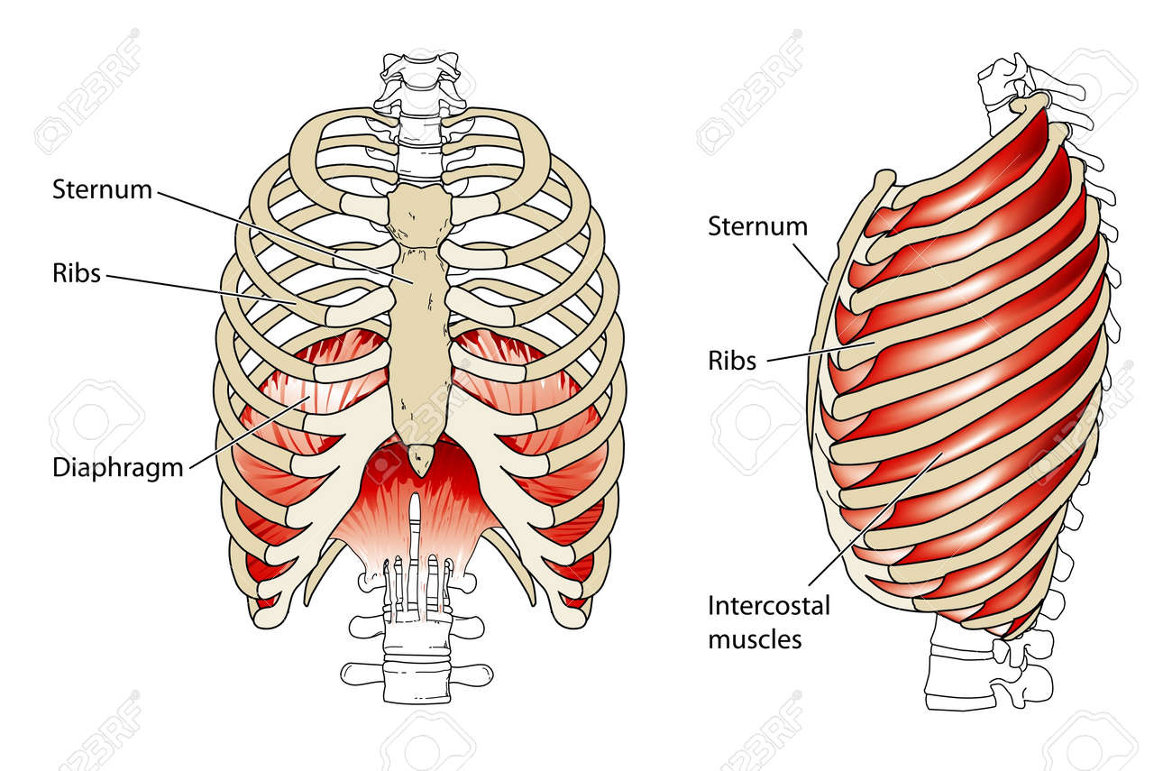 Ribs And Diaphragm Royalty Free Cliparts, Vectors, And Stock ...