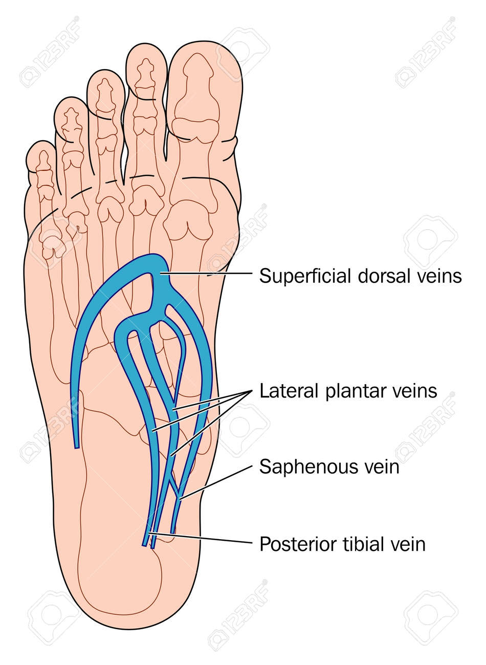 Veins Of The Foot Royalty Free Cliparts Vectors And Stock