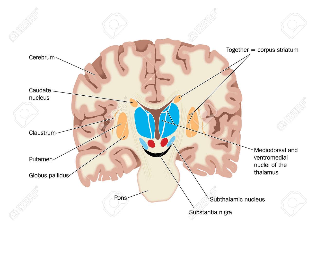 Dibujo Del Cerebro Mostrando Los Ganglios Basales Abd Núcleos ...