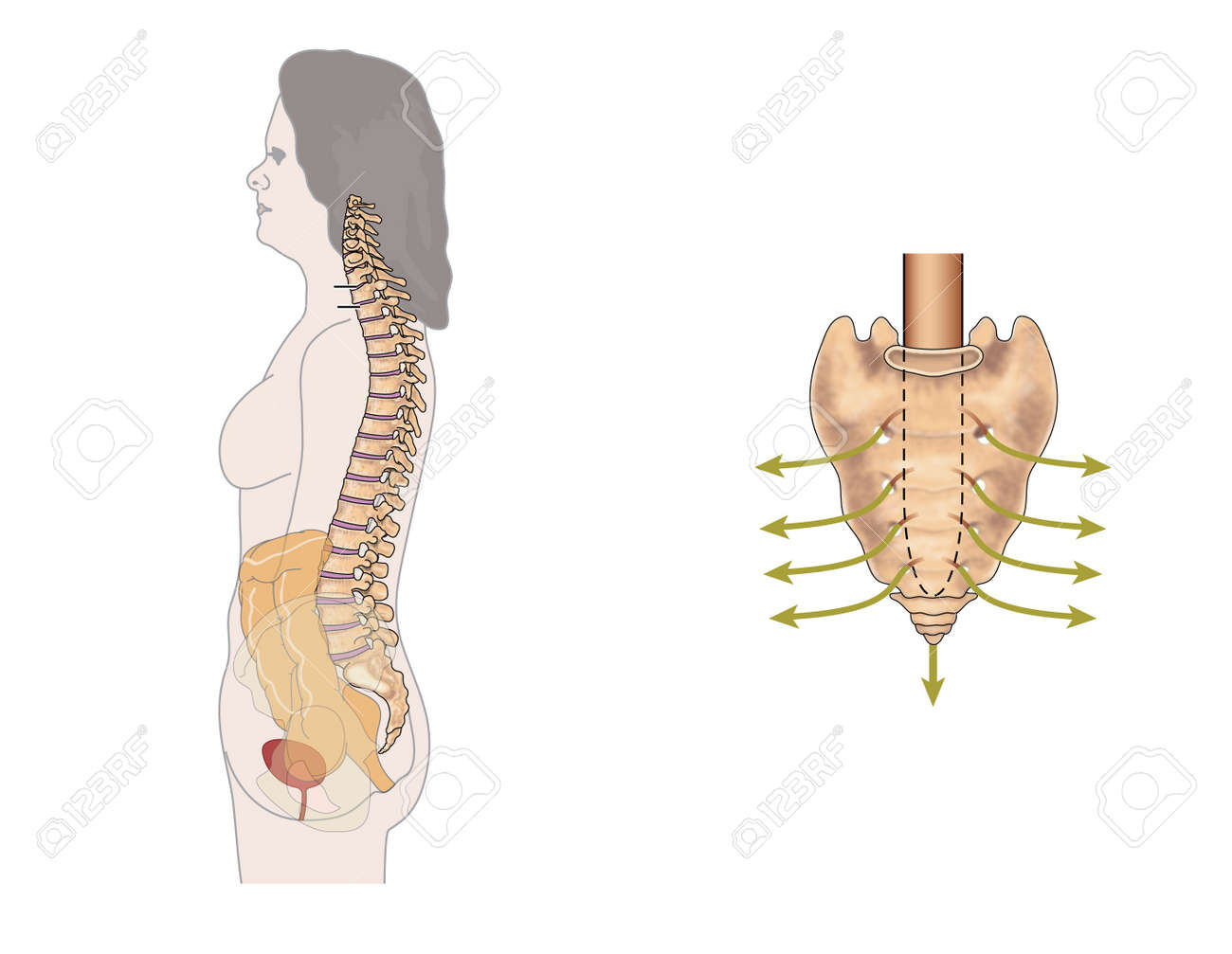 Side View Of The Bowel Spinal Column And Sacral Nerves To Show
