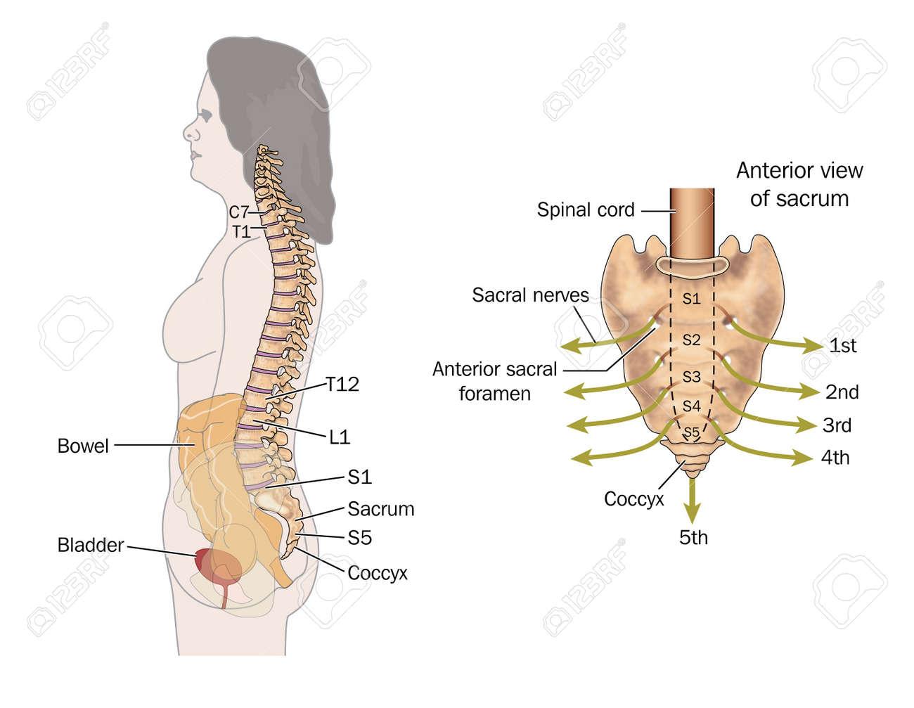 Berühmt Seitliche Ausnehmung Anatomie Der Wirbelsäule Ideen ...