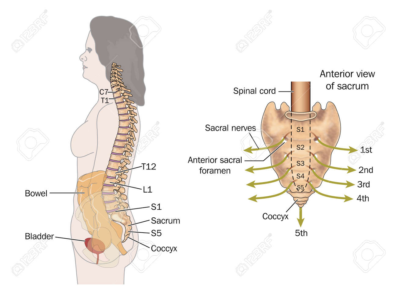Side View Of The Bowel, Spinal Column And Sacral Nerves, To Show ...