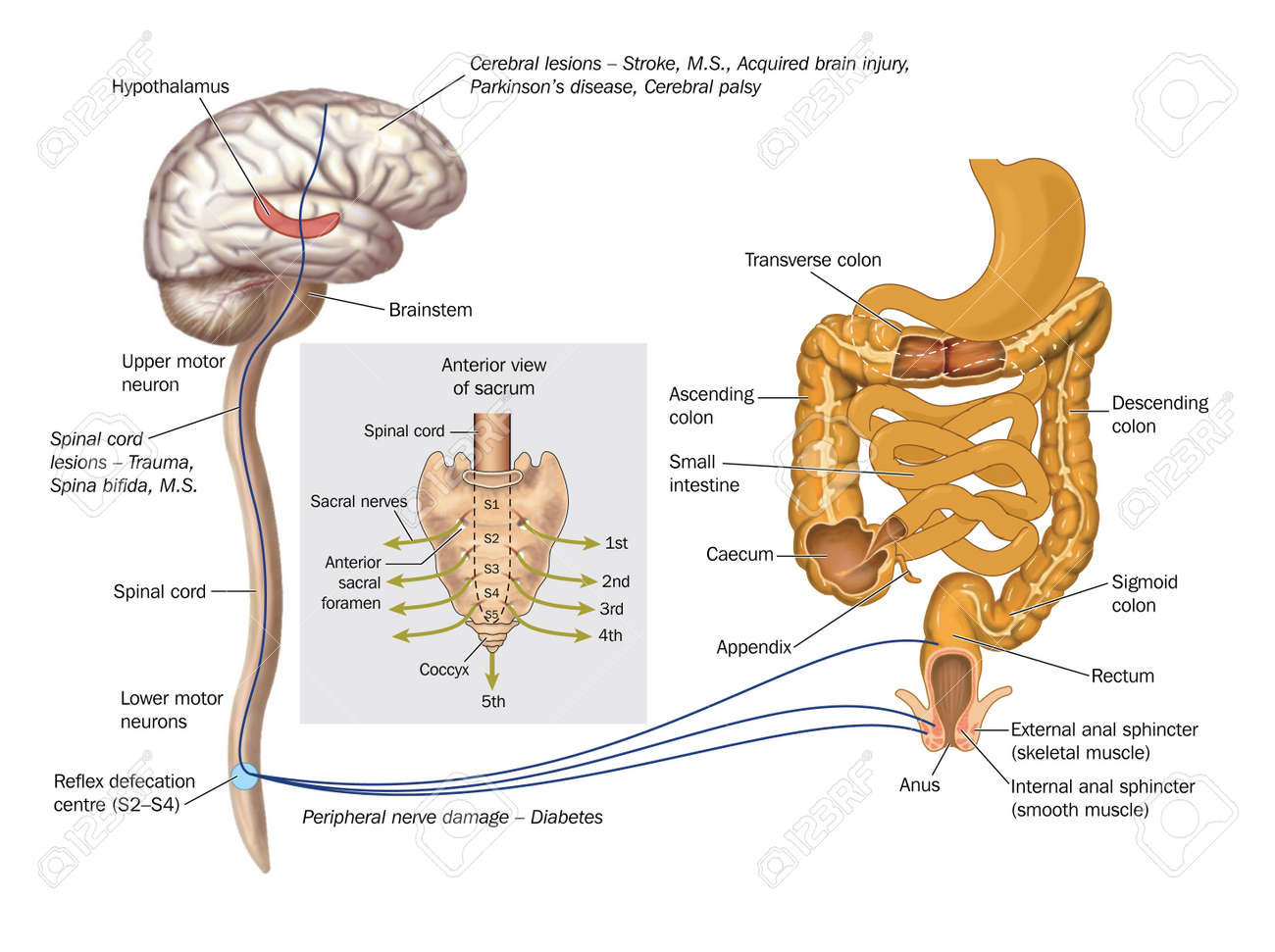 Drawing To Show The Nerve Pathways Controlling The Rectum And