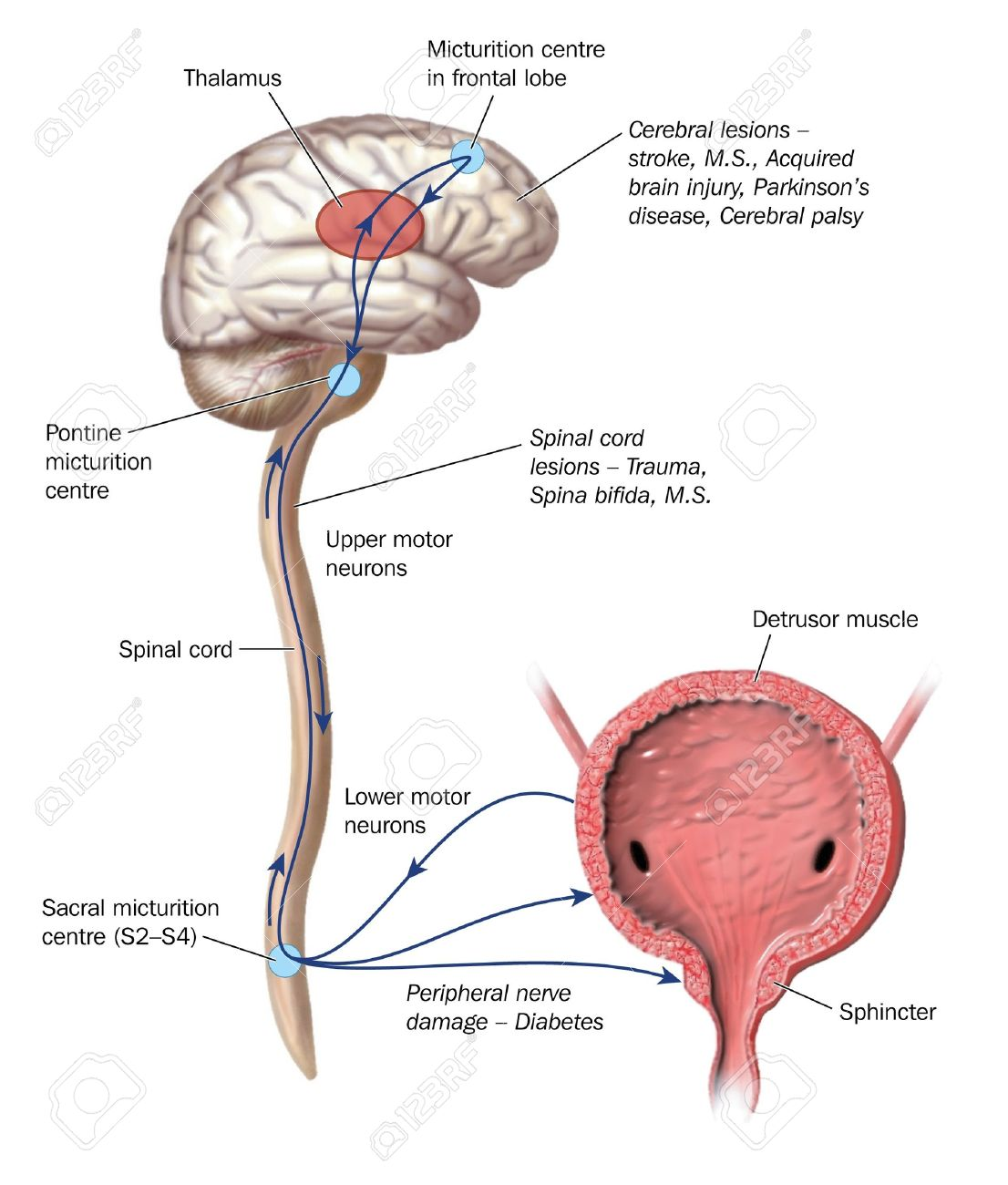 Drawing To Show The Nerve Pathways That Control Micturition .. Stock ...