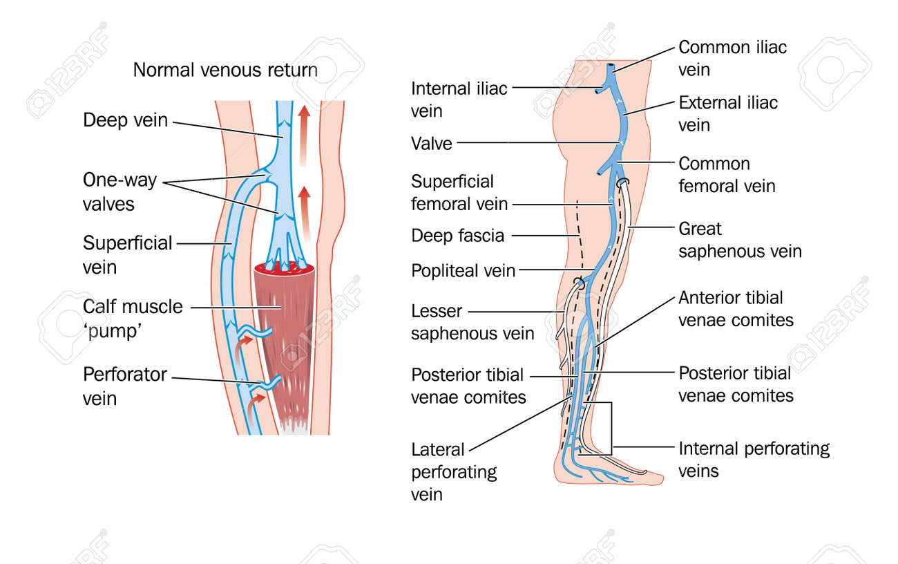 Drawing Of The Veins Of The Leg And The Calf Muscle Pump Royalty ...