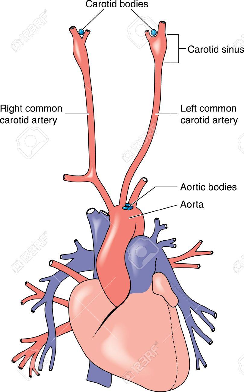 Dibujo Para Mostrar Las Posiciones Y Las Relaciones Anatómicas De ...