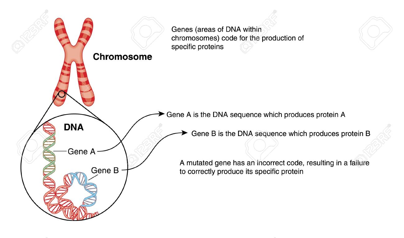 Drawing of a chromosome with detail of dna structure with genes drawing of a chromosome with detail of dna structure with genes colour coded stock vector ccuart Gallery