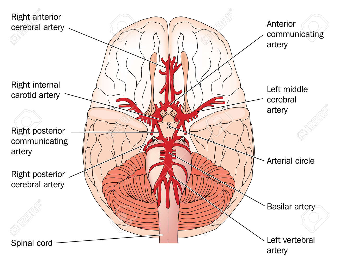 Drawing Of The Blood Vessels At The Base Of The Brain Called ...