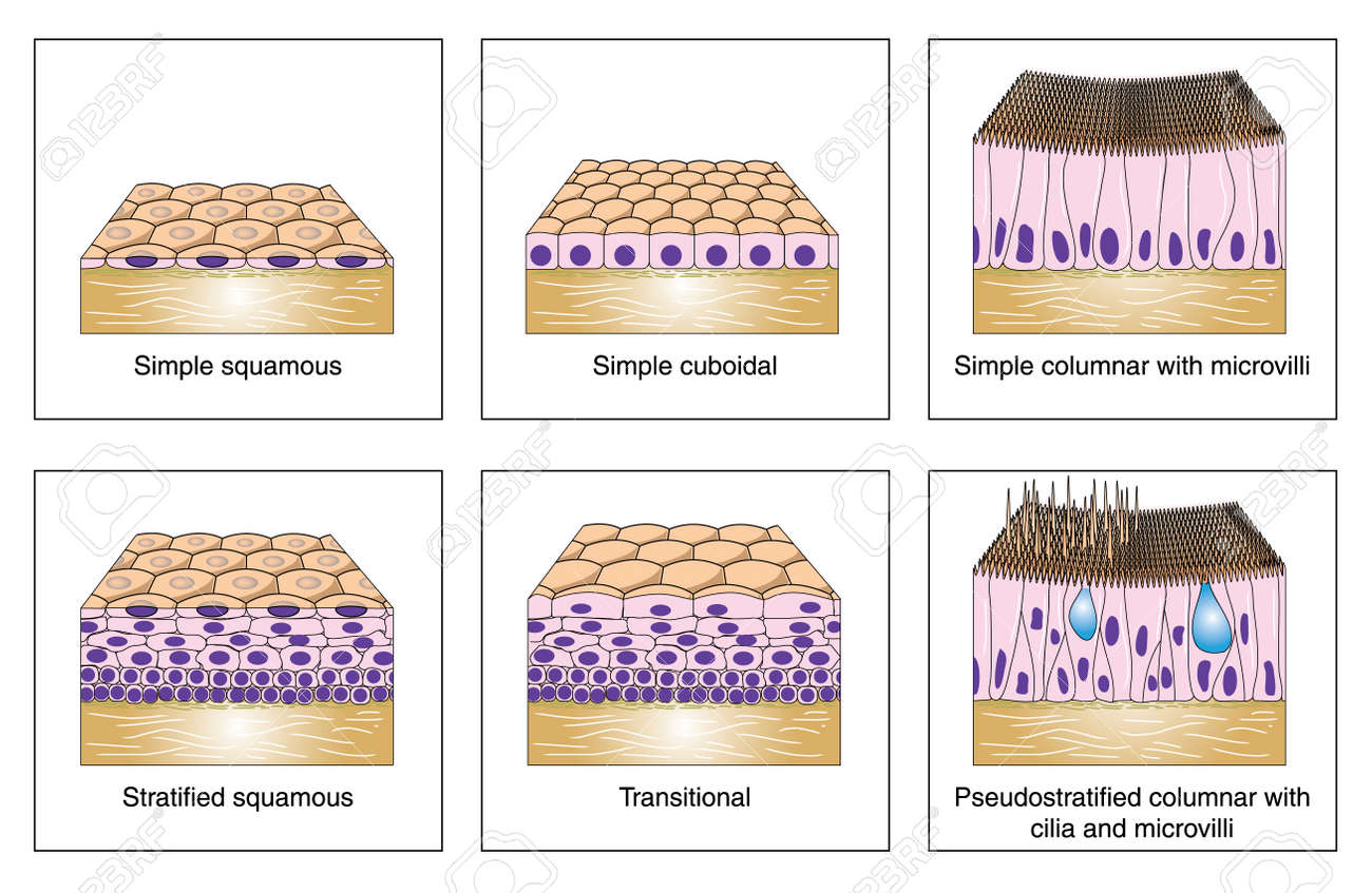 Diagram To Show The Various Kinds Of Epithelium -- Simple Squamous ...