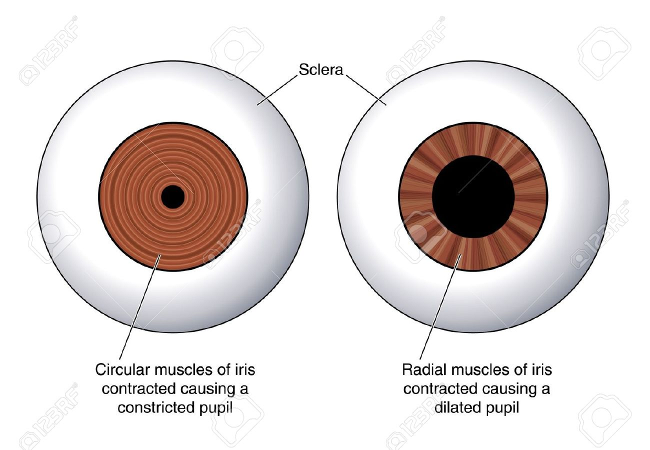 Drawing to show the circular iris muscles and the radial iris muscles used in the control of light into the eye - 14742336
