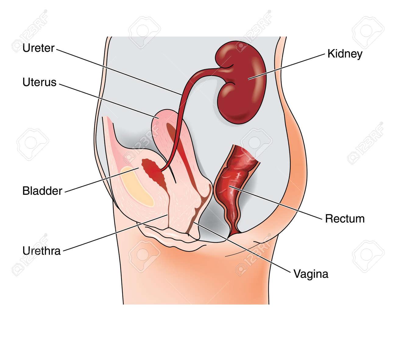 Dibujo Para Mostrar El Sistema Genital Femenino Y Las Relaciones ...