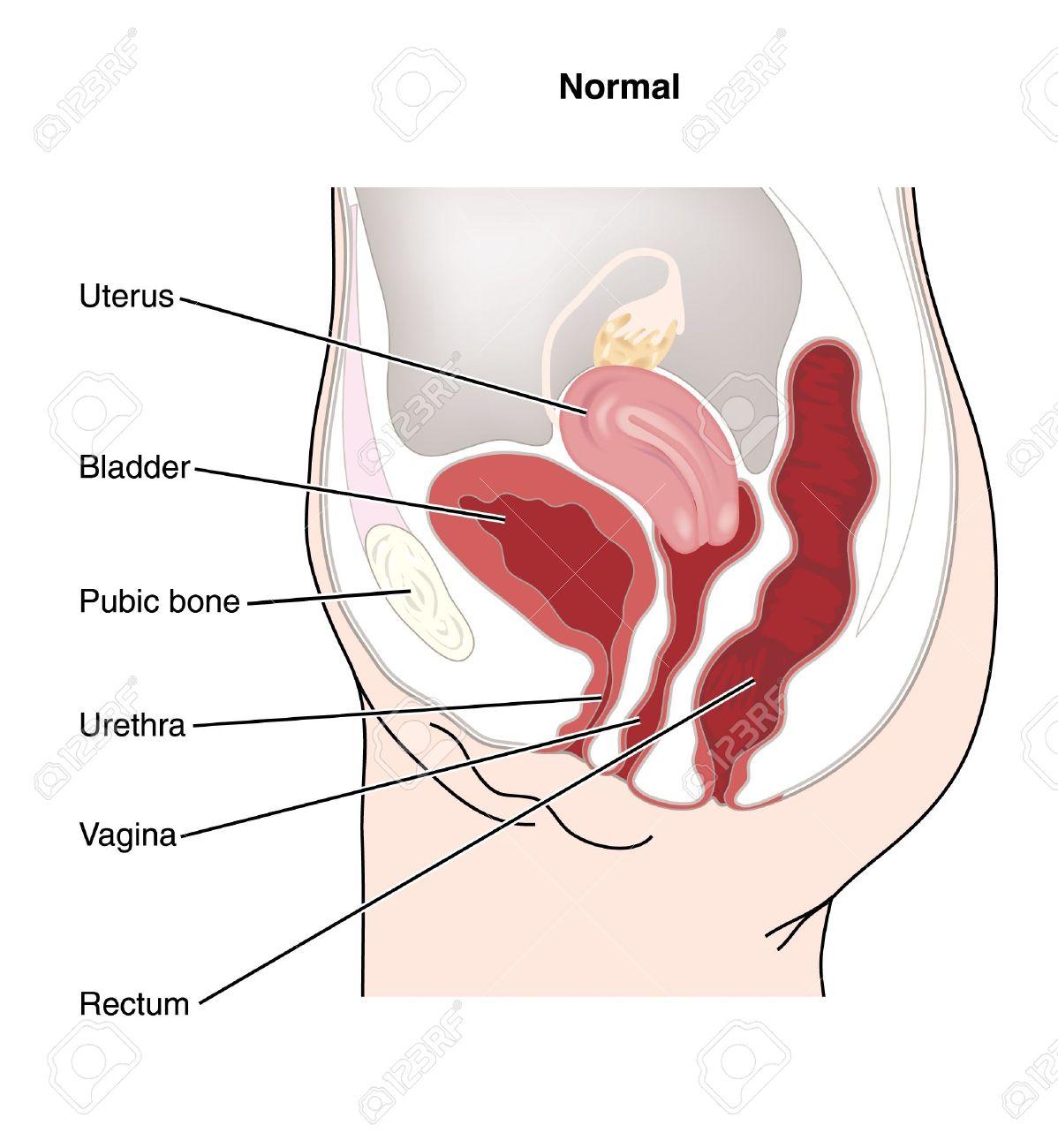 女性の生殖器と女性の生殖器官と...