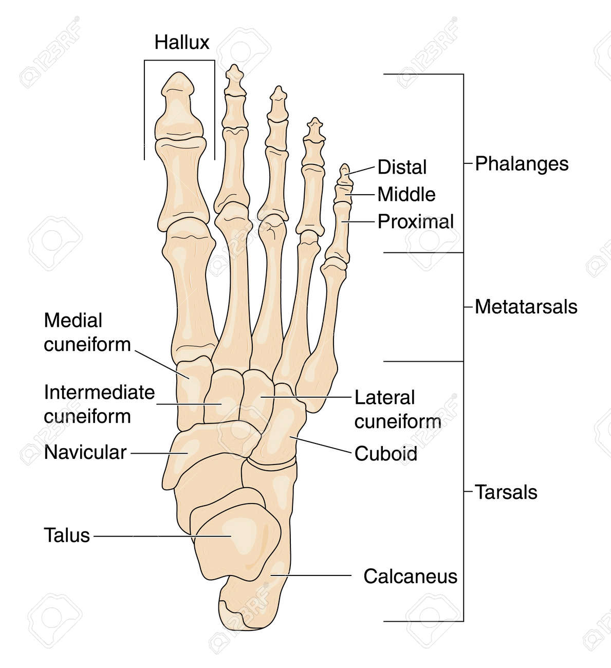 Drawing To Show The Bones Of The Right Foot, Dorsal Or Top View ...
