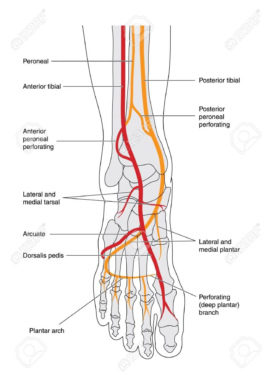 Zeichnen Des Unterschenkels Einschließlich Der Knöchel Und Fuß ...
