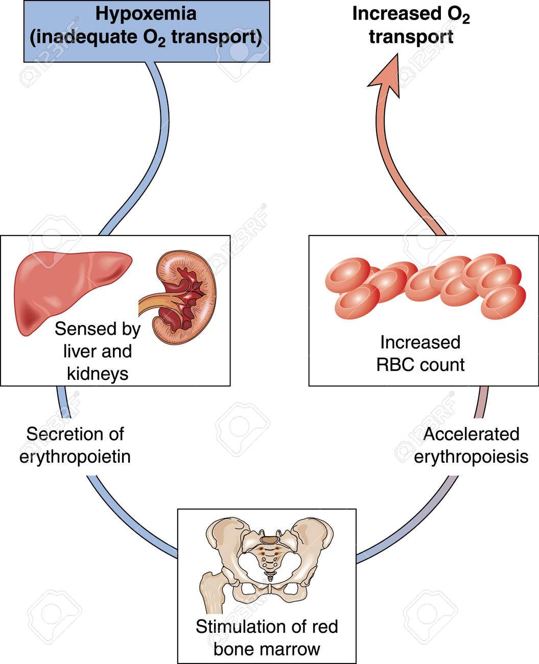 Diagrama Para Mostrar La Hipoxemia Y El Control De Los Niveles De ...
