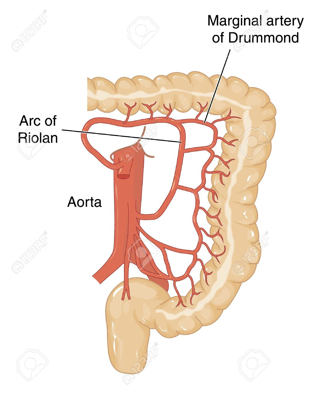 Blood Vessels From The Abdominal Aorta That Supply Blood To The ...
