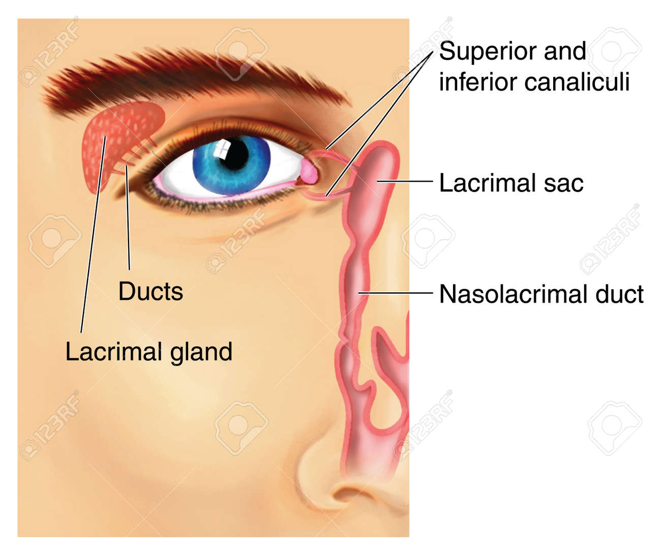Drawing To Show The Lacrimal Apparatus, With The Lacrimal Gland ...