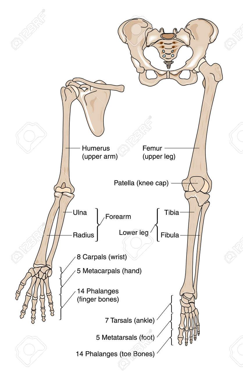 Knochen Des Arm-, Hand-, Bein-und Fuß- Lizenzfrei Nutzbare ...