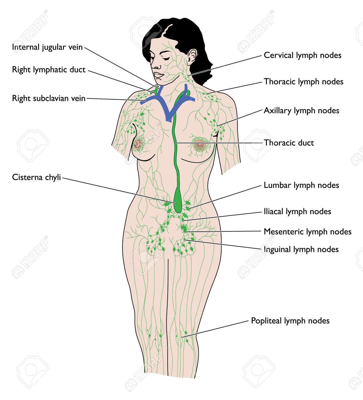 Dibujo Del Sistema Linfático Femenino Ilustraciones Vectoriales ...