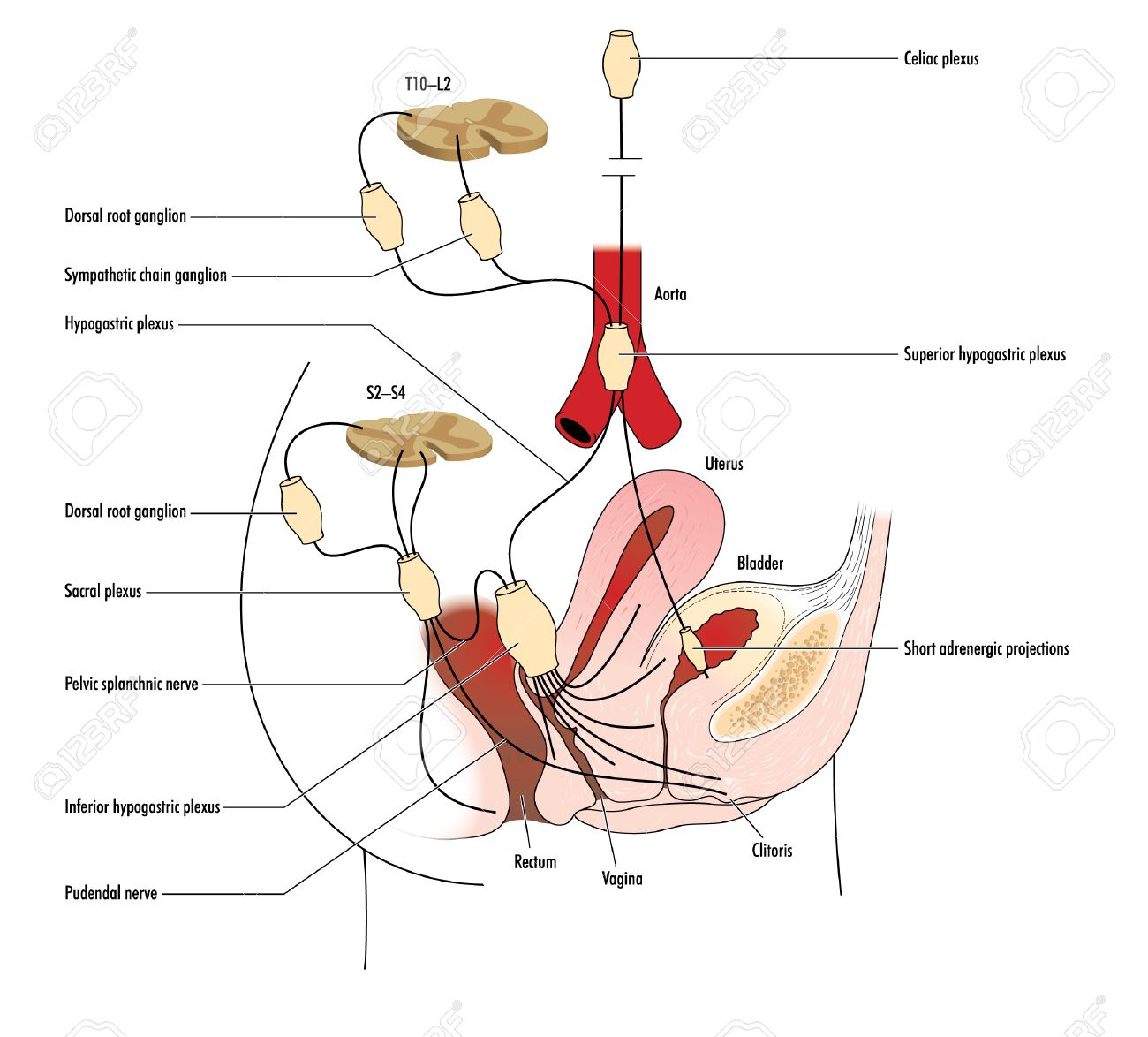 Zeichnung Der Nervenversorgung Der Gebärmutter, Vagina Und Rektum ...