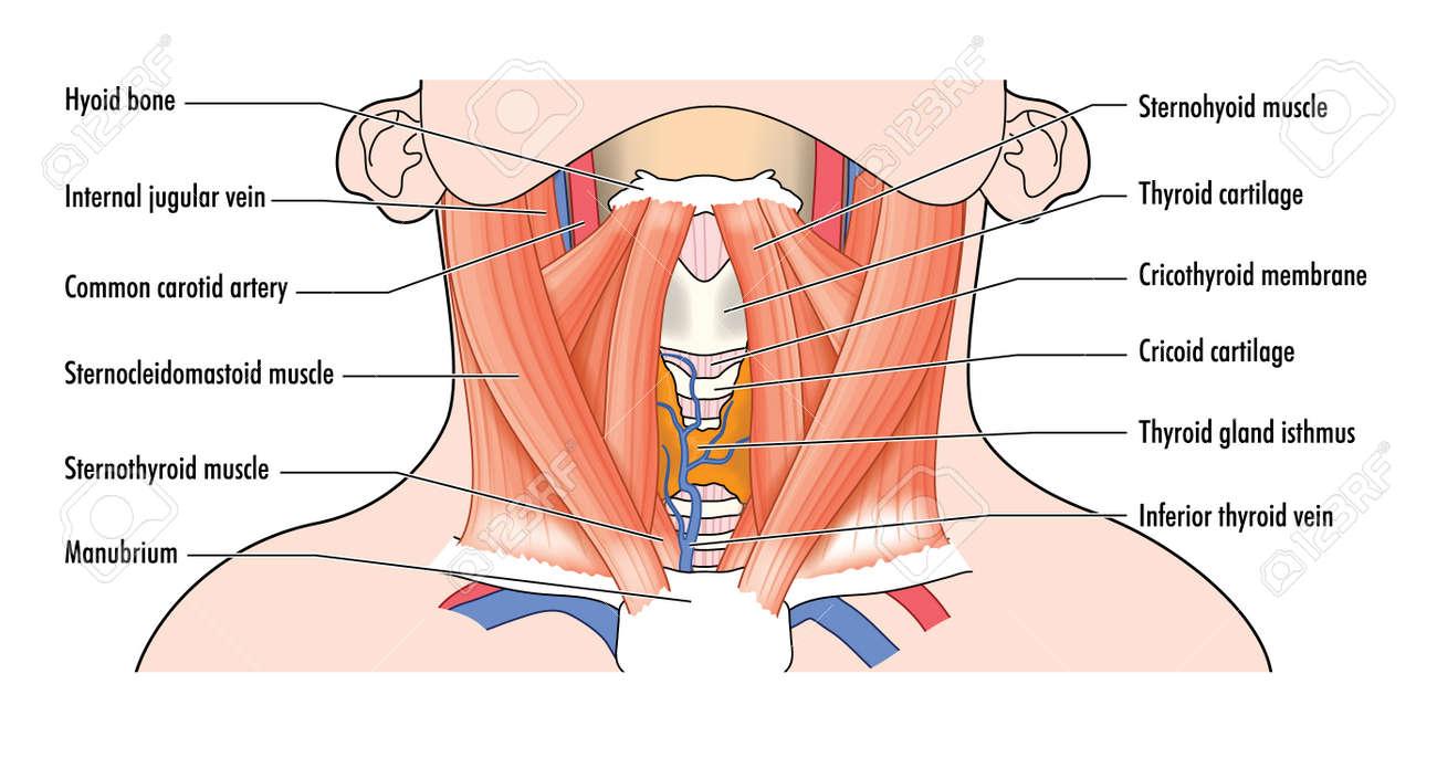 Zeichnung, Um Die Vorderen Muskeln Der Hals Und Atemwege Strukturen ...