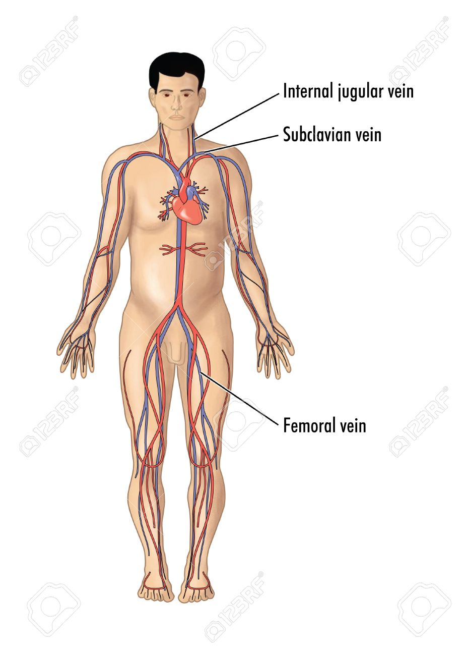 Drawing Of The Major Arteries And Veins, Focusing On The Vein ...