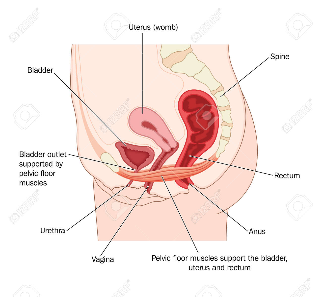 Drawing To Show The Pelvic Floor Muscles And Their Support Of