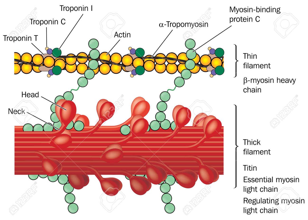 Detail Von Muskelgewebe, Die Aktin Und Myosin, Troponin-Komplex ...