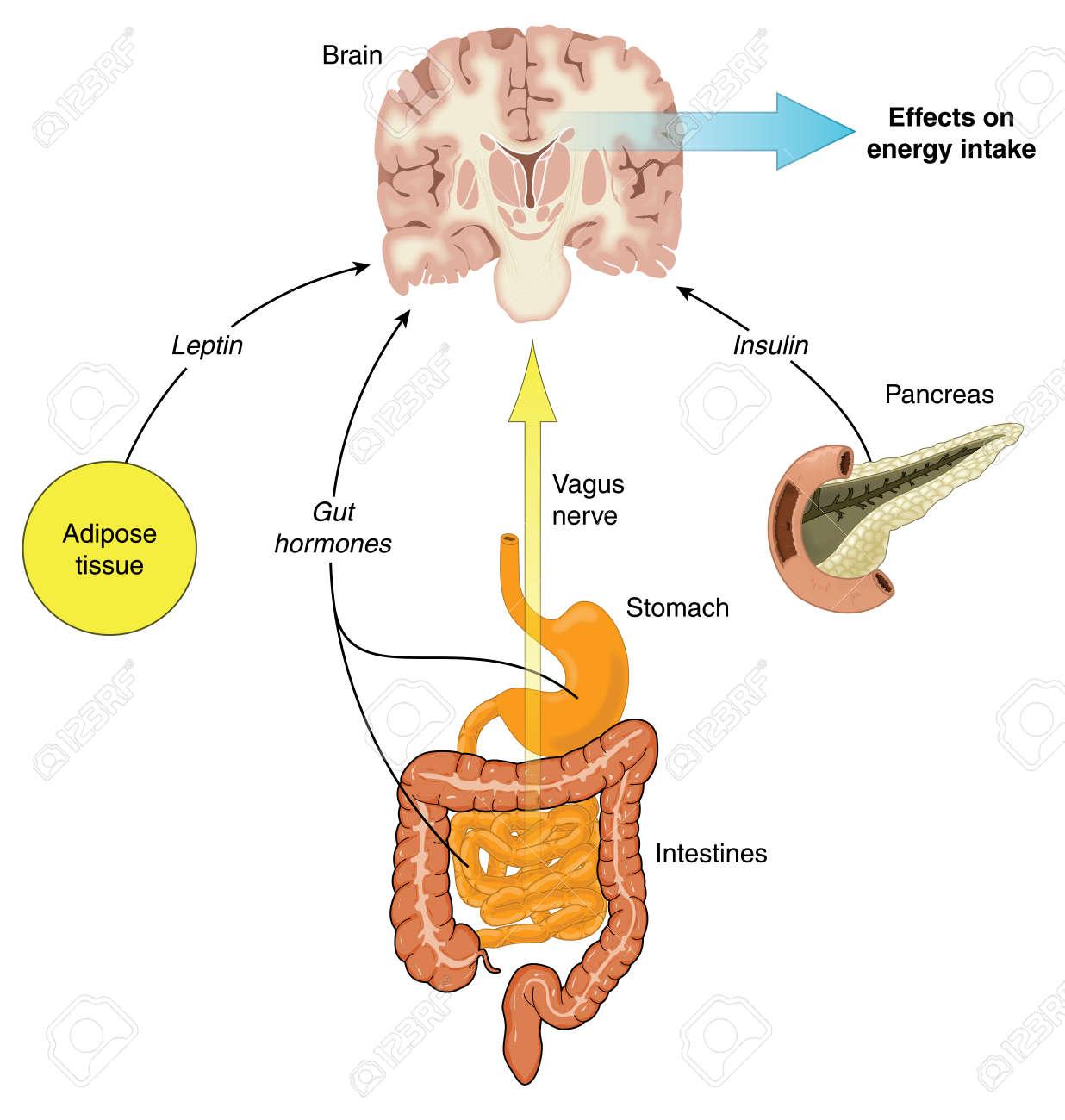 Kontrolle Der Nahrungsaufnahme über Hormone Aus Dem Darm, Fettgewebe ...