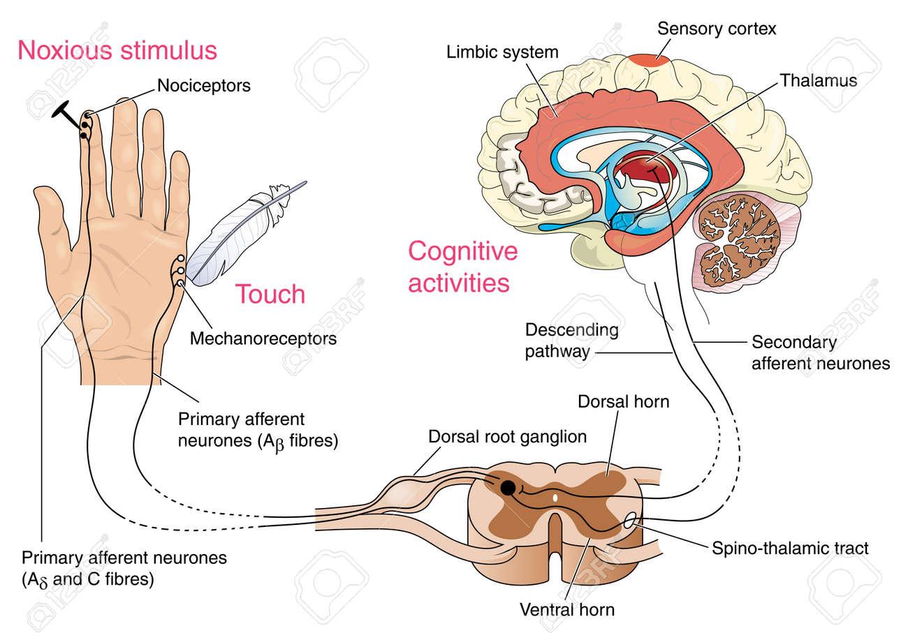 Unerträglich Und Schmerzrezeptoren In Der Haut Und Den Nervenbahnen ...