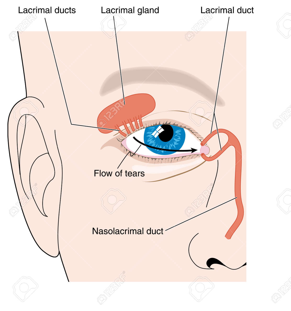 Production Of Tears From The Lacrimal Gland And Flow Of Tears