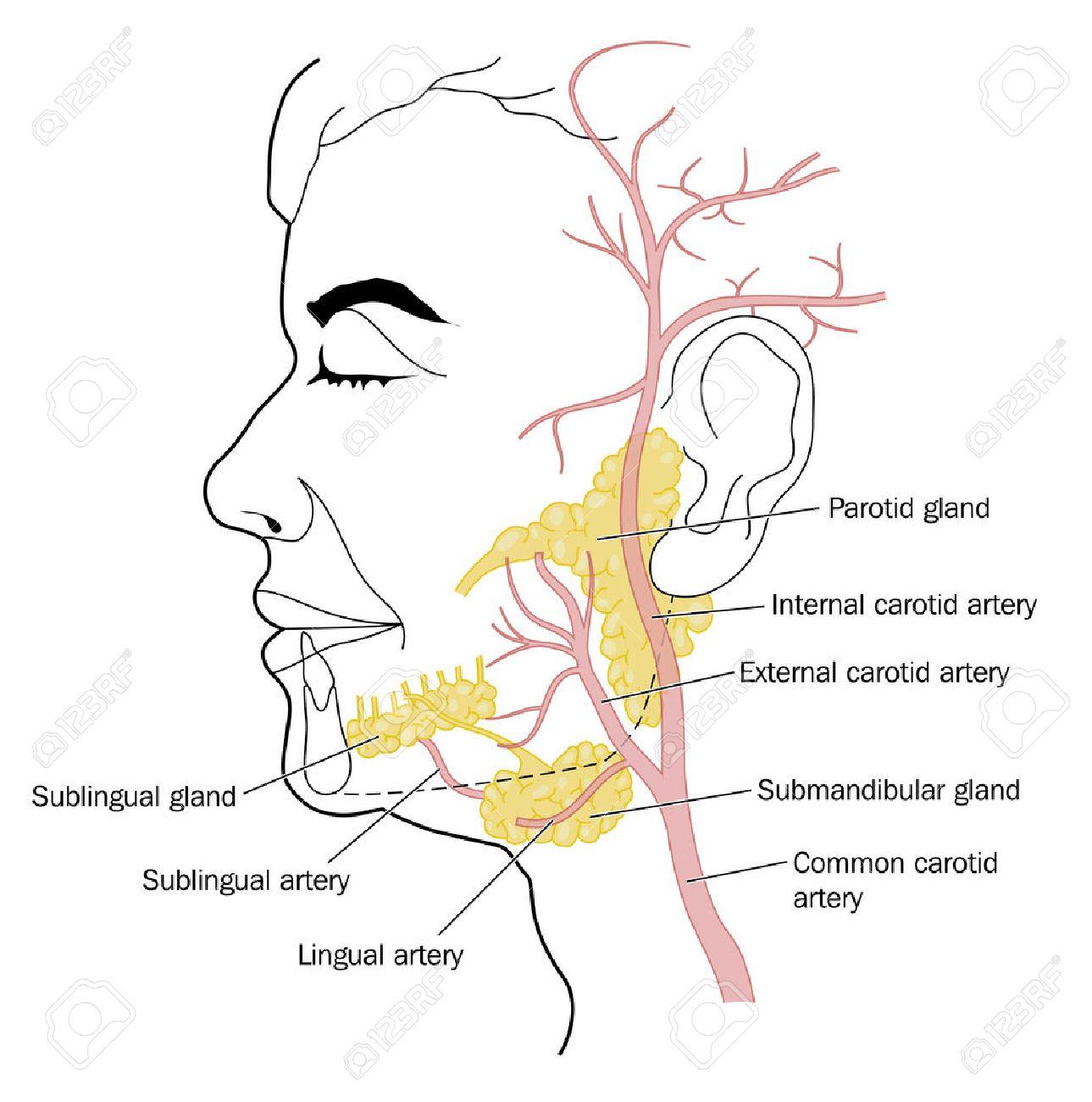 Las Glándulas Salivales Y Los Vasos Sanguíneos Del Cuello Y La Cara ...