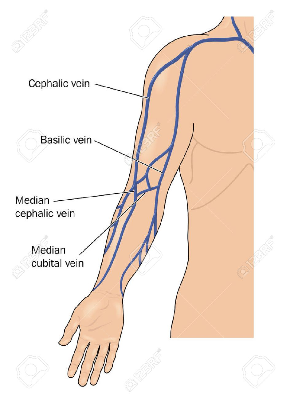 The Major Veins Of The Arm. Created In Adobe Illustrator. Contains ...