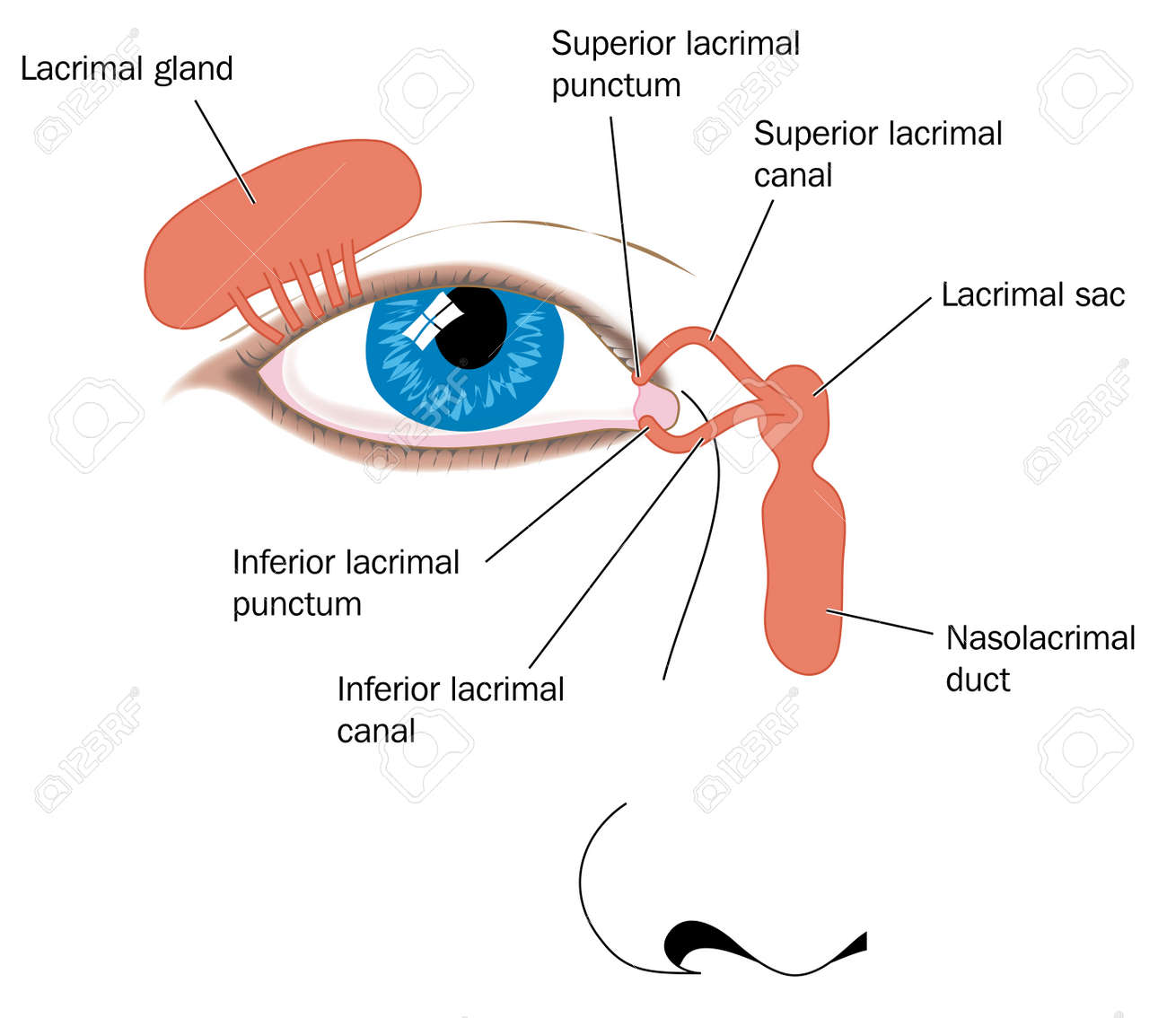 Lacrimal Apparatus Tear Duct And Nasolacrimal Duct. Created In ...