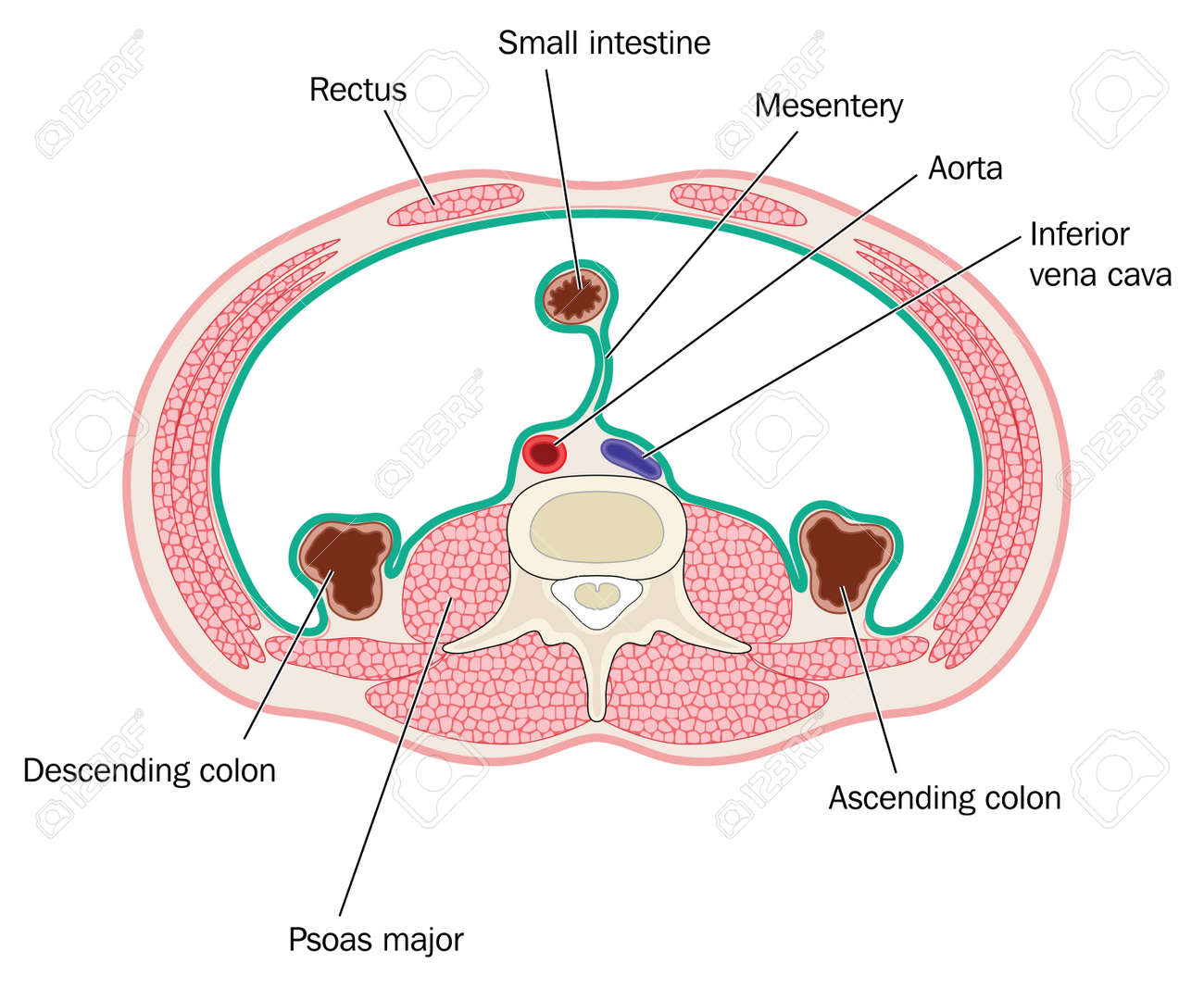 Cross Section Through Peritoneal Cavity Showing Muscles Of The ...