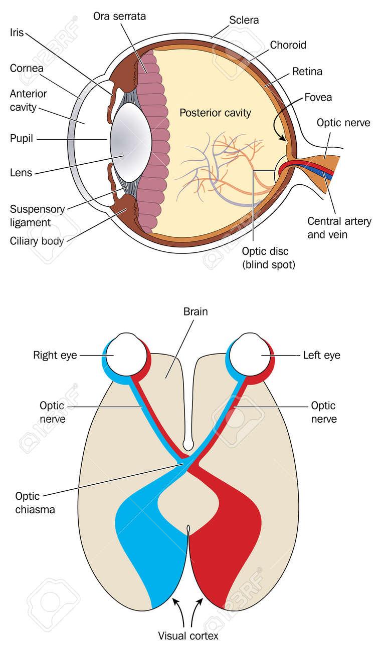Querschnitt Durch Auge Und Gehirn, Die Sehnerven Sehnervenkreuzung ...