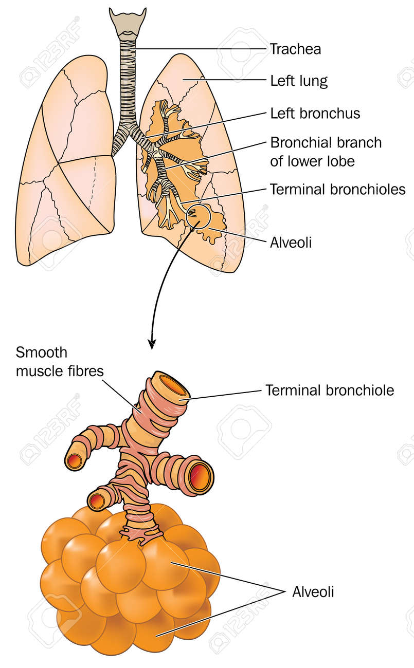 drawing of the lungs showing trachea bronchi bronchioles and